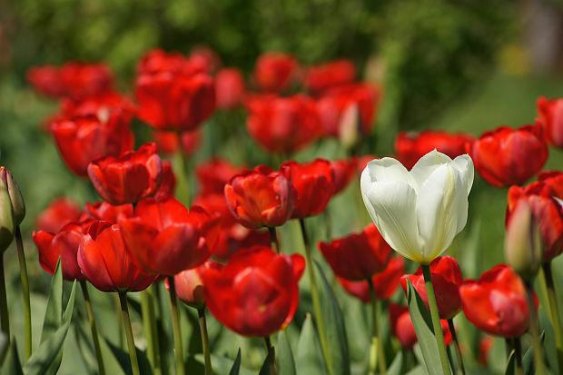 Tulipany jeden inny
